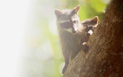 Everything You Need to Know About Baby Raccoons in Your Attic