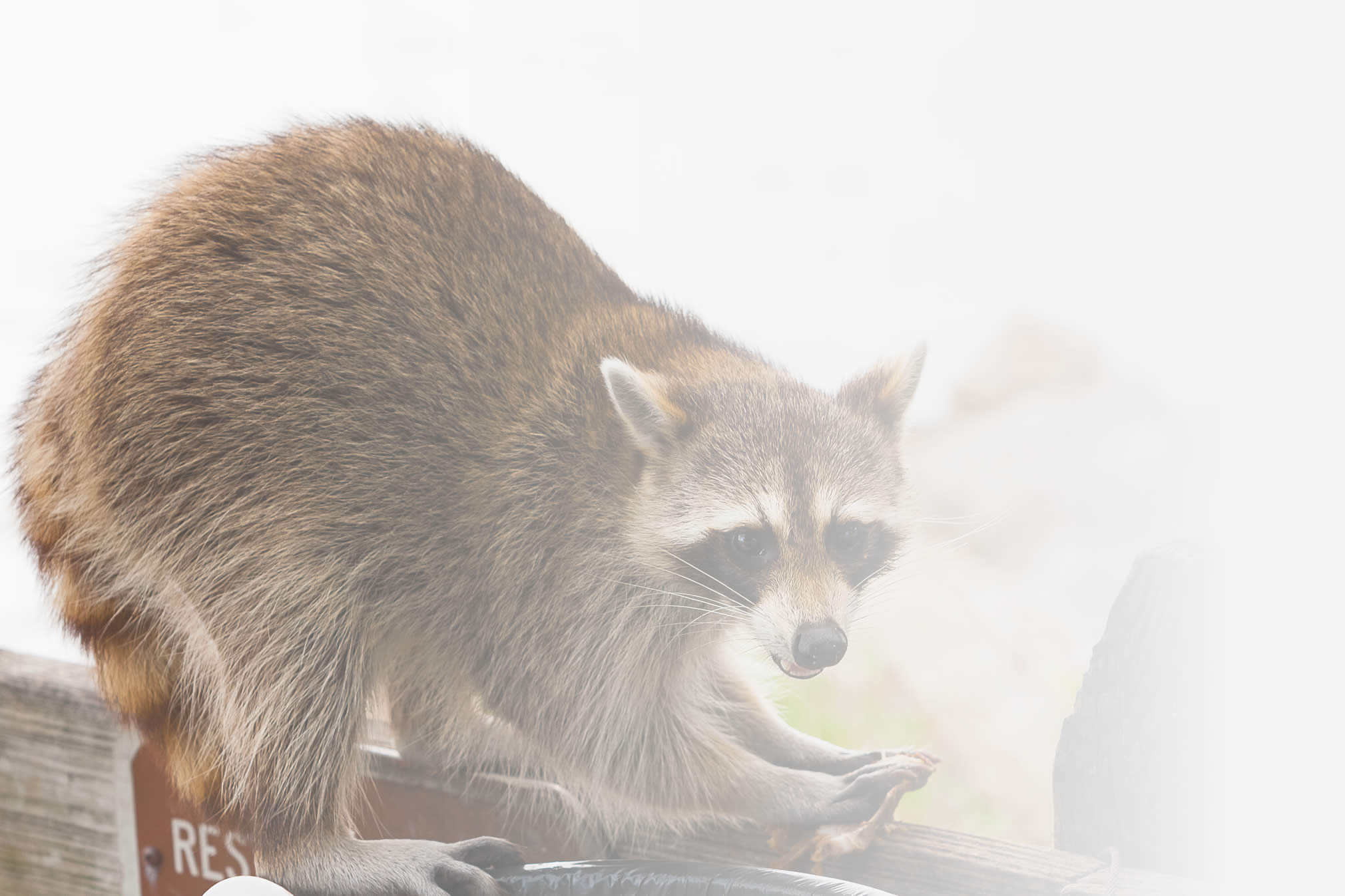 Raccoon on a tree branch