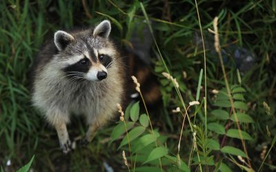 Why Hire a Raccoon Removal Company