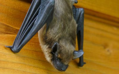 Why Bats in Your Attic Is The Most Dangerous Wildlife Problem