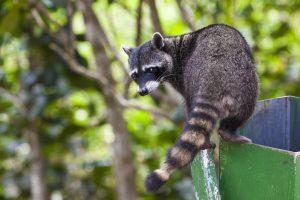 raccoon sitting in a tree