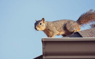 Getting Rid of Squirrels in Your House