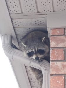 raccoon perched on downspout