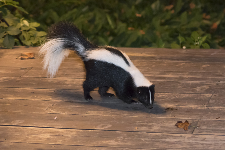 Skunk on a deck